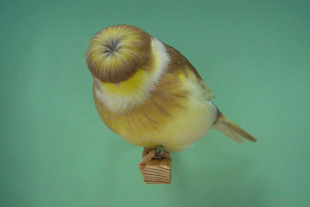 cinnamon-buff-corona-gloster-canary