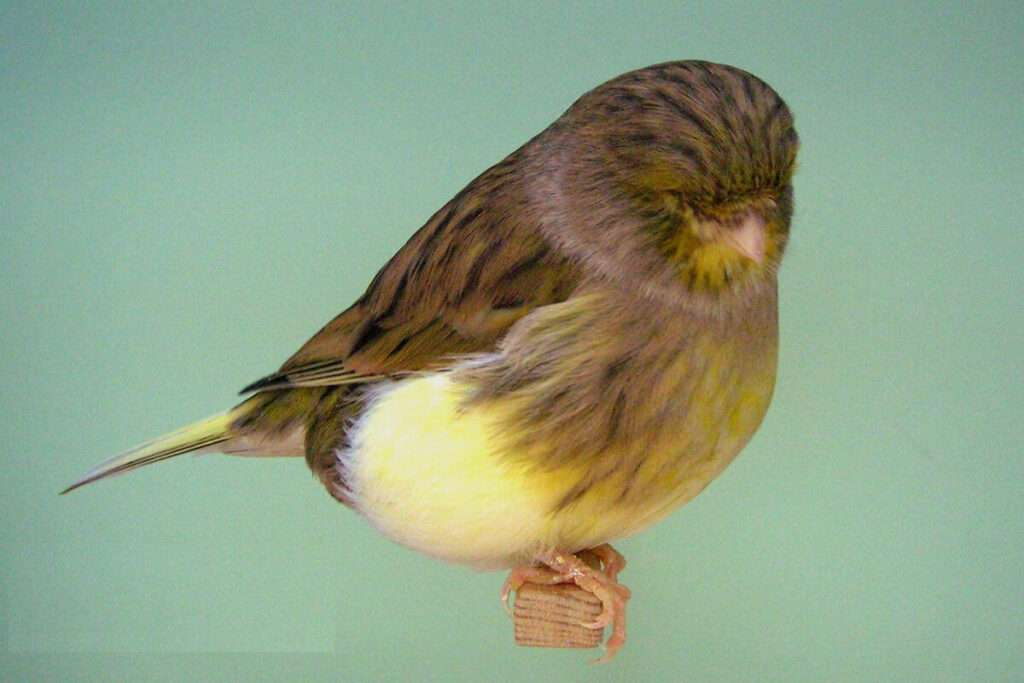gloster-consort-canary